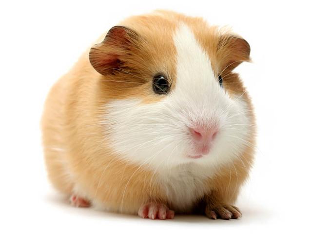 cochon d'inde