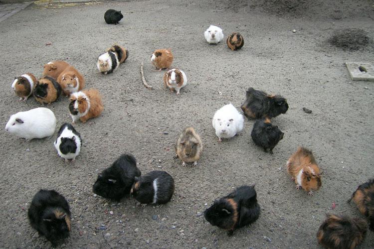 groupe cochon d'inde