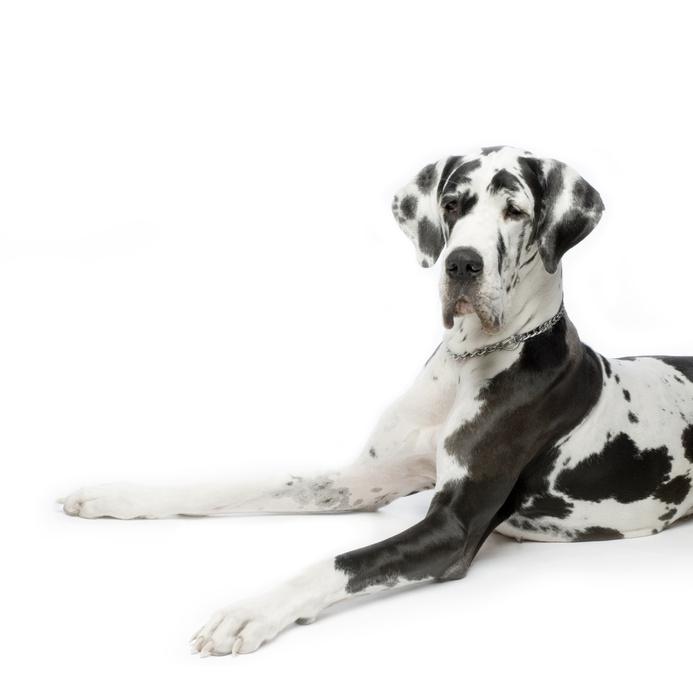 grand danois chien